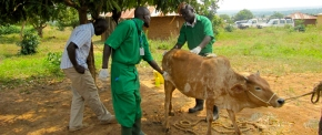 Improving lives and livelihoods through improved livestock health