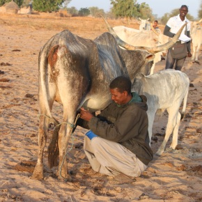 Improved dairy cattle for enhanced livelihoods and food and nutritional security in Senegal