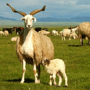 Badass Chinese sheep quickly evolved adaptations to extreme plateau and desert environments—New study